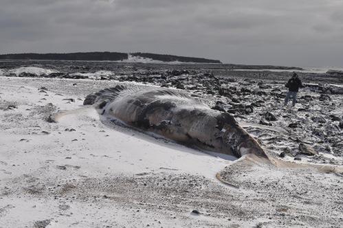 Photos - 2015 Jan blizzard & whale 042